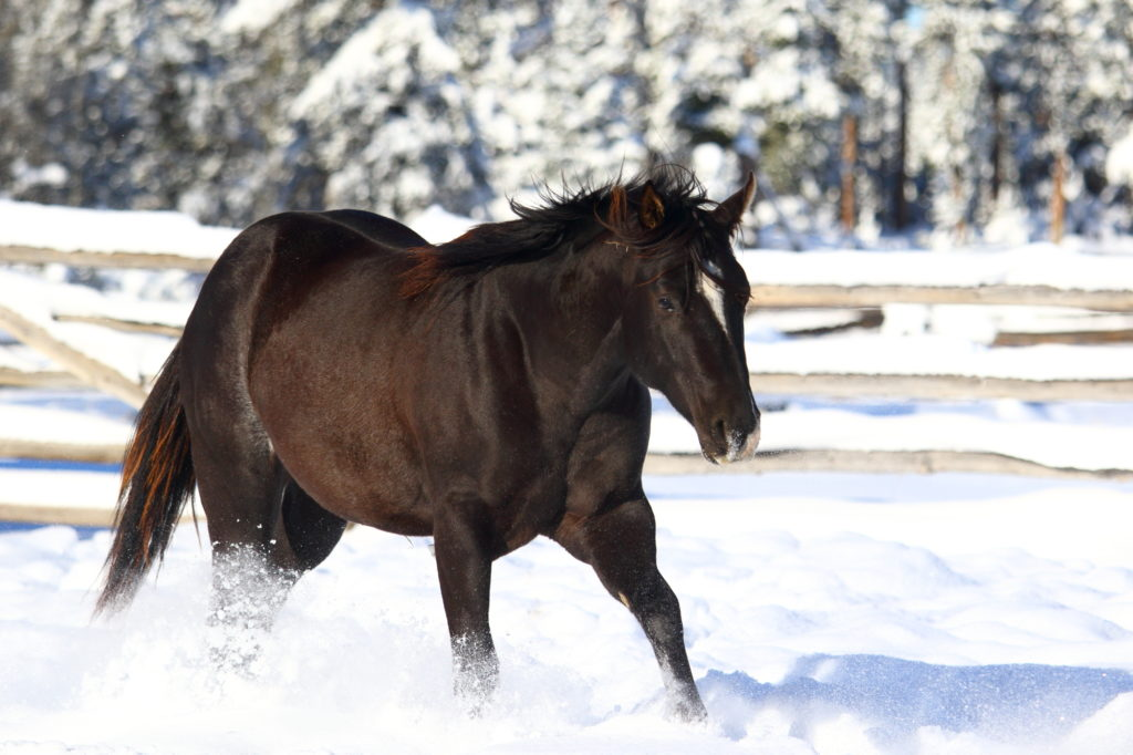 Open Your Heart black rabicano stallion by Lazy Loper AQHA APHAo